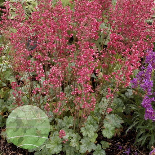 Heuchera_Paris_5b