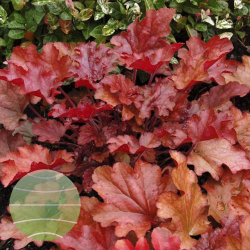 Walter Blom Plants Heuchera Peach Flambe