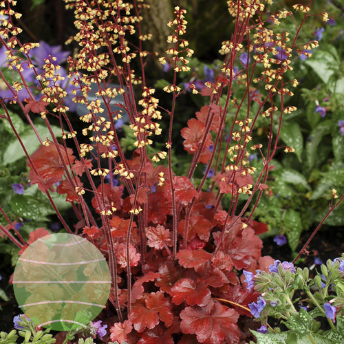 Walter Blom Plants Heuchera Root Beer