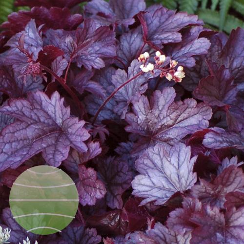 Walter Blom Plants Heuchera Shanghai