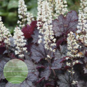 Walter Blom Plants Heucherella Cracked Ice