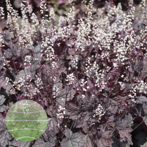 Walter Blom Plants Heucherella Infinity