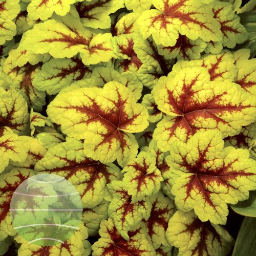 Walter Blom Plants Heucherella Stoplight
