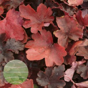 Walter Blom Plants Heucherella Burnished Bronze