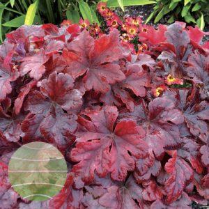 Walter Blom Plants Heucherella Buttered Rum