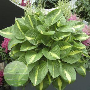 Walter Blom Plants Hosta Ann Kulpa