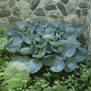 Walter Blom Plants Hosta Big Daddy