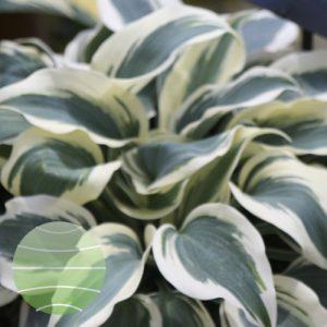 Walter Blom Plants Hosta Blue Ivory