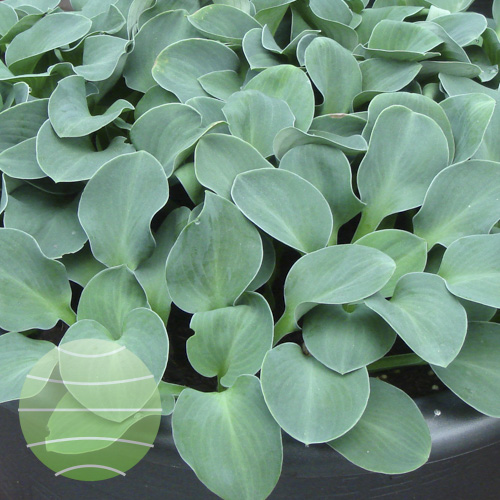 Walter Blom Plants Hosta Blue Mouse Ears