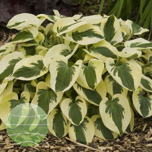 Walter Blom Plants Hosta Brim Cup