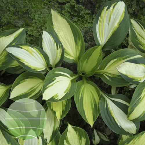 Walter Blom Plants Hosta Color Festival