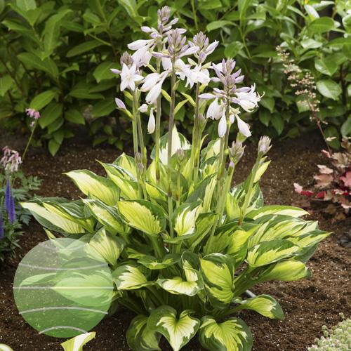 Walter Blom Plants Hosta Colored Hulk