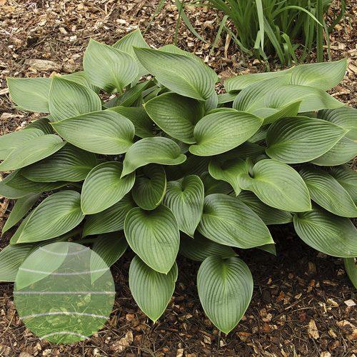 Walter Blom Plants Hosta Devon Green
