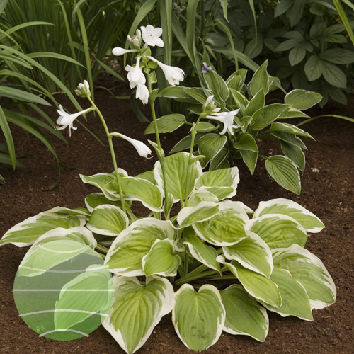 Walter Blom Plants Hosta Diana Remembered