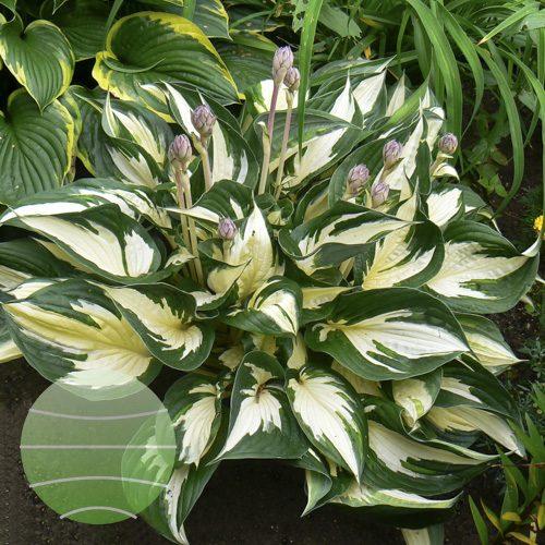 Walter Blom Plants Hosta Fire and Ice