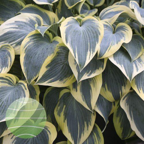 Walter Blom Plants Hosta First Frost