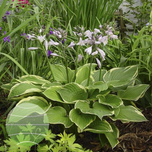 Walter Blom Plants Hosta Fortunei Aureomarginata