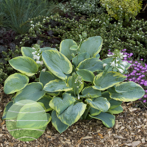 Walter Blom Plants Hosta Frances Williams