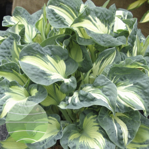 Walter Blom Plants Hosta Golden Meadows
