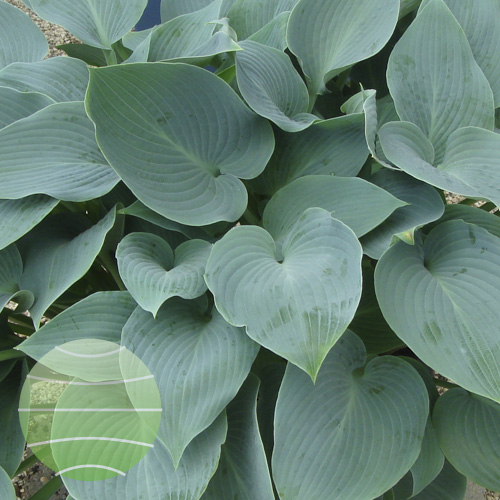 Walter Blom Plants Hosta Halcyon