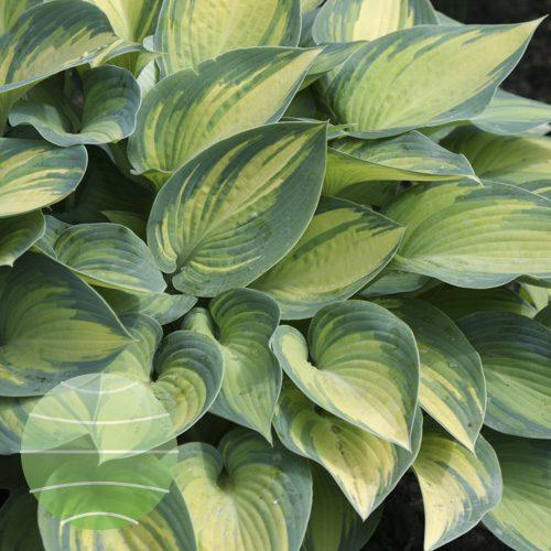 Walter Blom Plants Hosta June