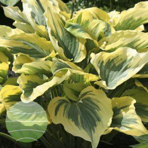 Walter Blom Plants Hosta Liberty