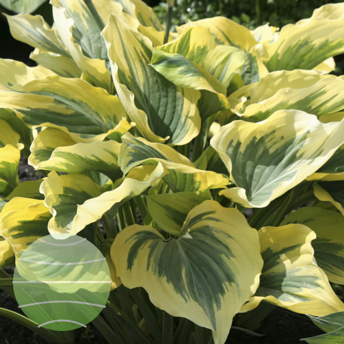 Walter Blom Plants Hosta Liberty