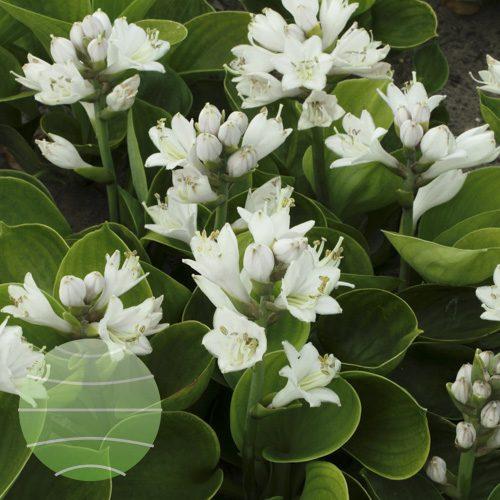 Walter Blom Plants Hosta Monster Ears