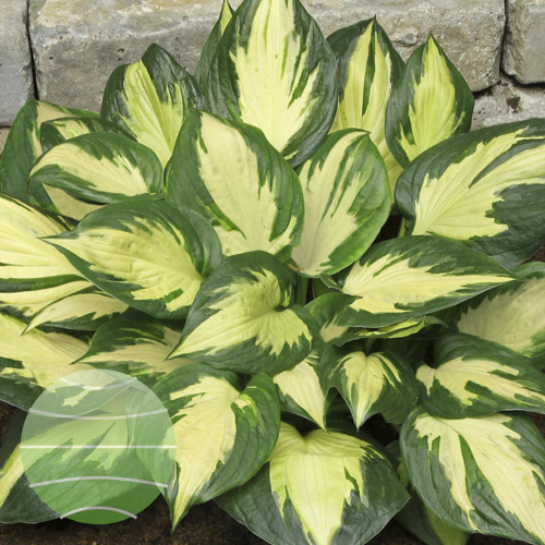 Walter Blom Plants Hosta Morning Star