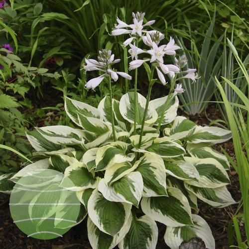 Walter Blom Plants Hosta Patriot