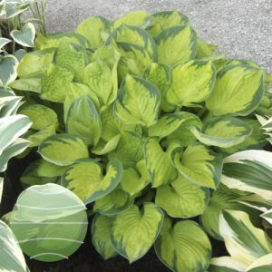 Walter Blom Plants Hosta Rainforest Sunrise