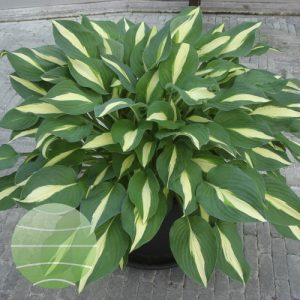 Walter Blom Plants Hosta Risky Business