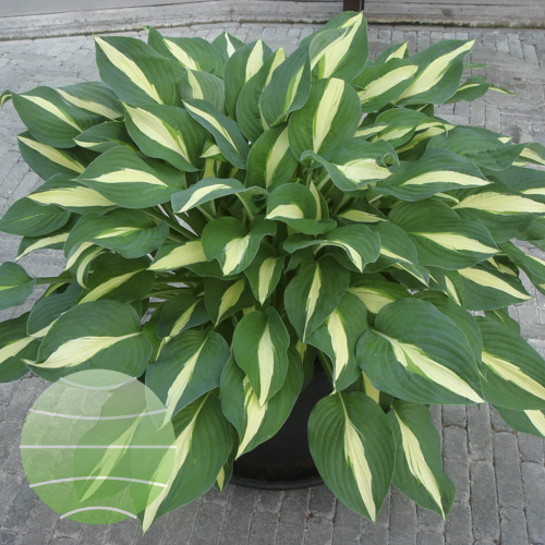 Walter Blom Plants Hosta Risky Business