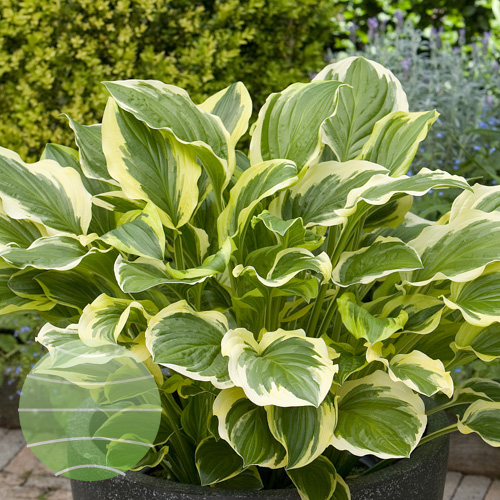 Walter Blom Plants Hosta So Sweet