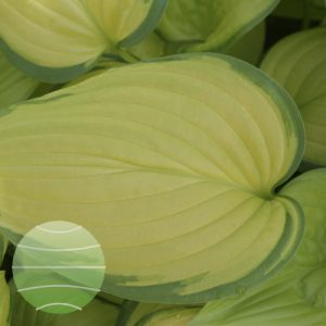 Walter Blom Plants Hosta Stained Glass