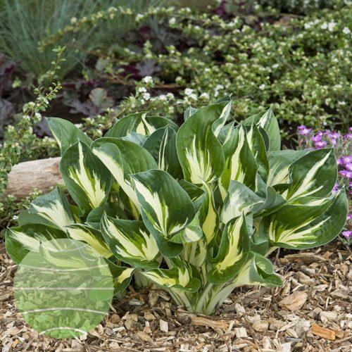 Walter Blom Plants Hosta Sting