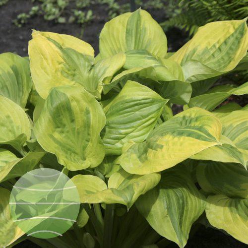 Walter Blom Plants Hosta Summer Breeze
