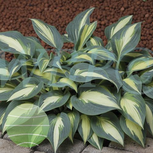Walter Blom Plants Hosta Timeless Beauty