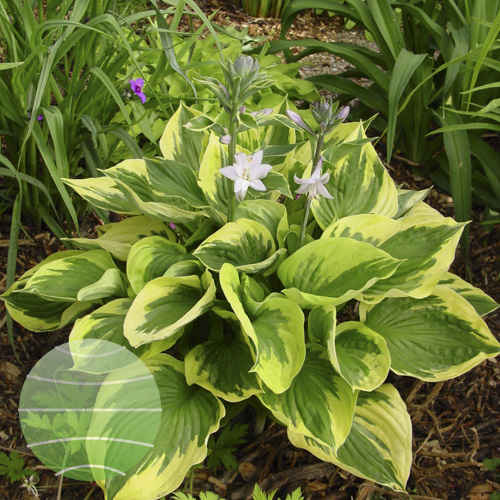 Walter Blom Plants Hosta Twilight