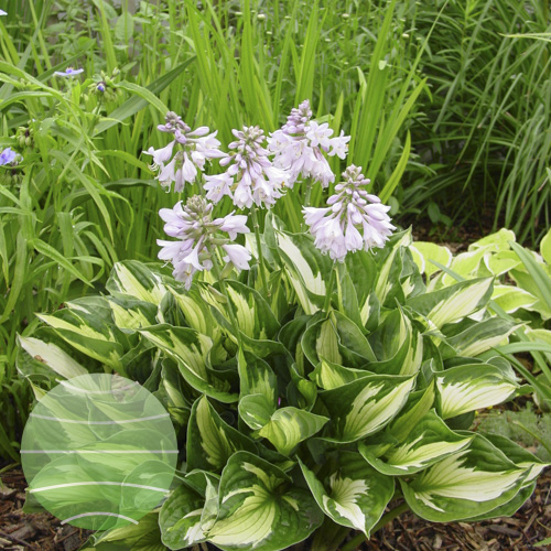 Walter Blom Plants Hosta Whirlwind