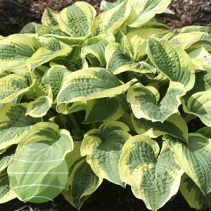 Walter Blom Plants Hosta Wide Brim