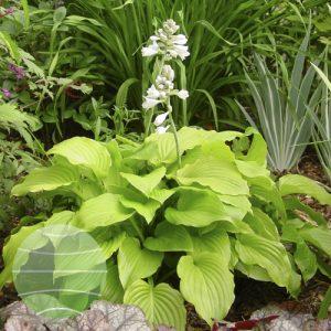 Walter Blom Plants Hosta Venus