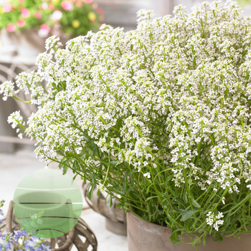 Walter Blom Plants Iberis White Heat