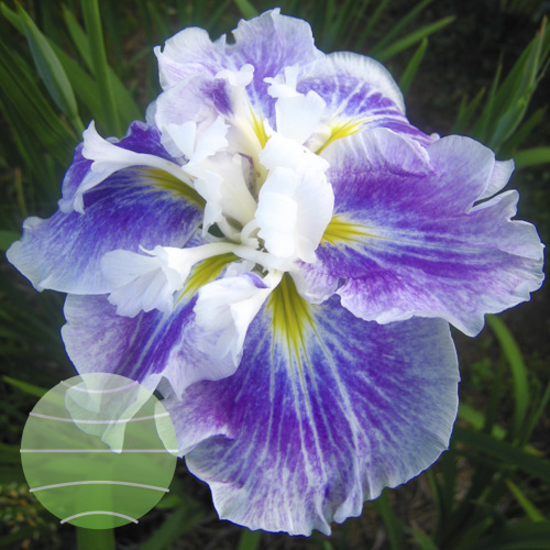 Walter Blom Plants Iris Angel Mountain