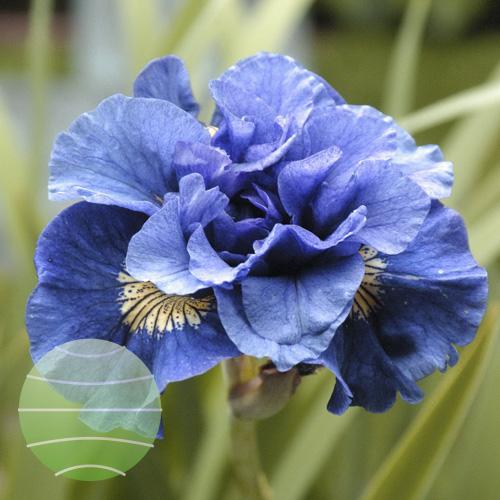 Walter Blom Plants Iris Concord Crush