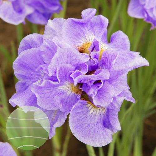 Walter Blom Plants Iris Having Fun