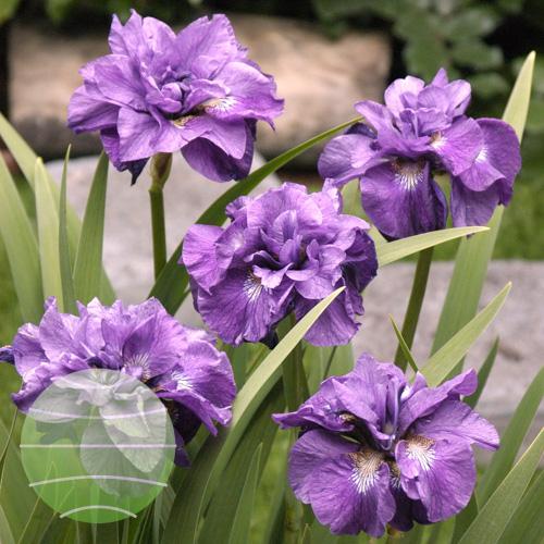 Walter Blom Plants Iris Imperial Opal