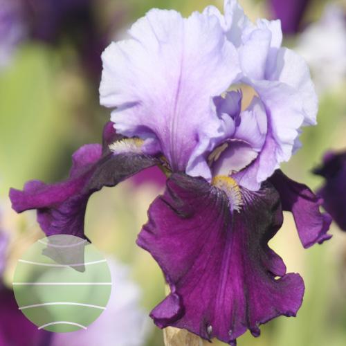 Walter Blom Plants Iris Blue Bird Wine