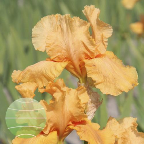 Walter Blom Plants Iris Skyfire
