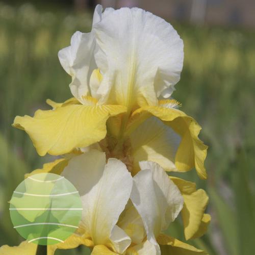 Walter Blom Plants Iris Tulip Festival